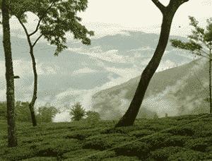 Tee aus Darjeeling