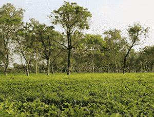 Tee aus Assam von Ronnefedlt