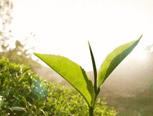 Tee aus Ceylon von Ronnefeldt