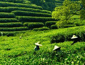 Grüner Tee aus China von Ronnefeldt