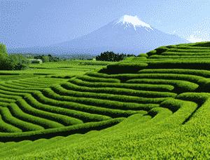 Grüner Tee aus Japan von Ronnefeldt
