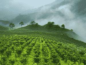Grüner Tee aus aller Welt von Ronnefedlt